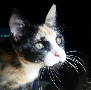 Antioch Animal Services Calico