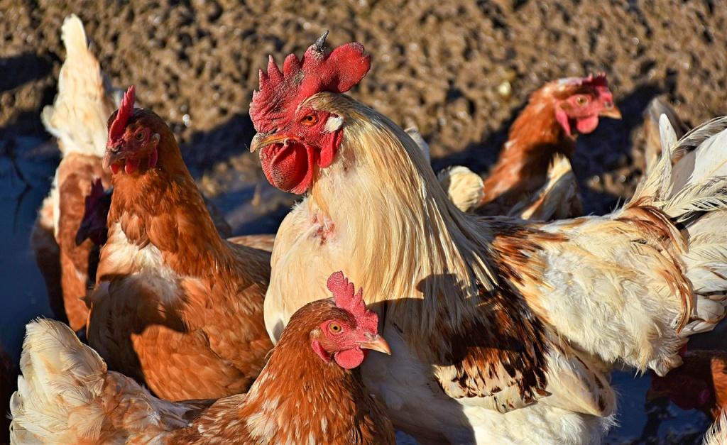 Antioch City Code for Chickens Ducks
