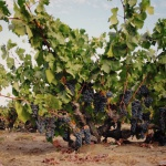 Evangelho Vineyards: The Ancient Vines of Antioch