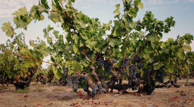 Evangelho Vineyards