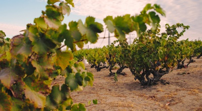 Evangelho Vineyards Ancient Vines Antioch